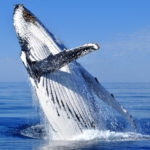 Whale watching near Busselton Red Dirt 4WD Rentals