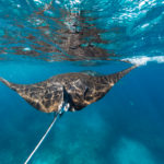 Manta rays in Ningaloo Marine Park Red Dirt 4WD Rentals