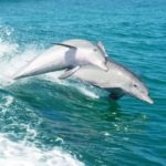 Dolphins playing near Rockingham Red Dirt 4WD Rentals