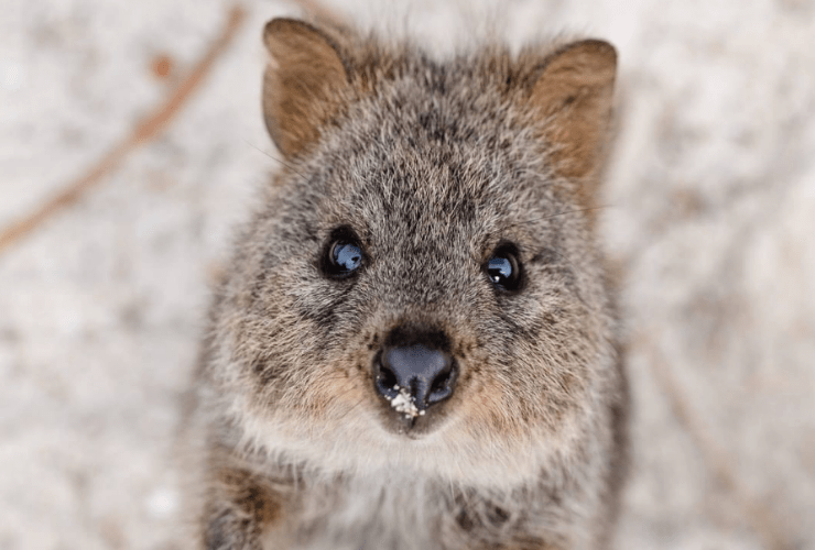 Quokka Experience Western Australia Japan Red Dirt 4WD Rentals